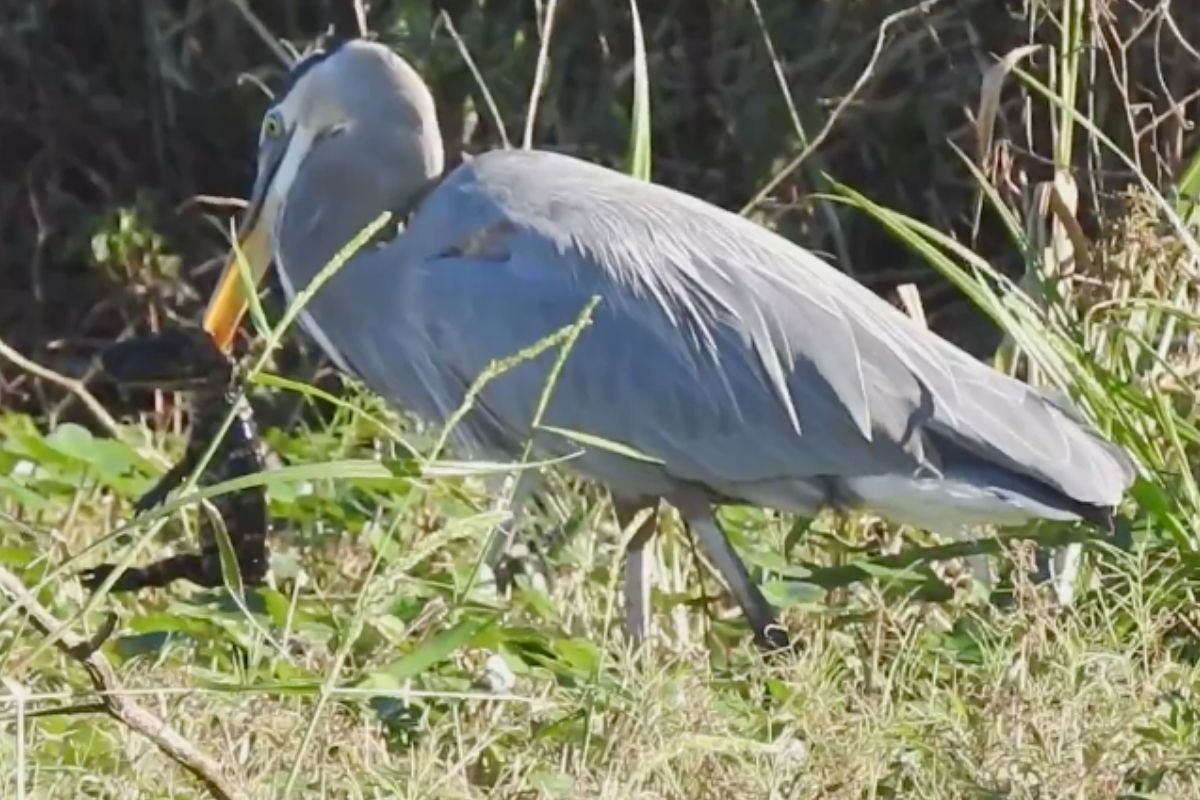Great Blue Heron Swallows Baby Alligator Whole