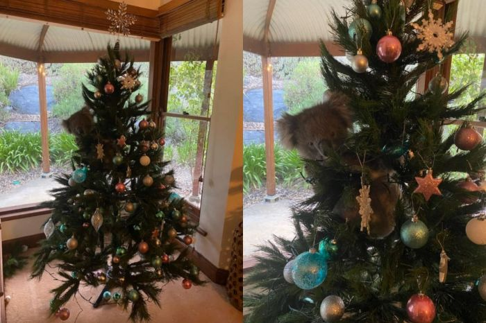Woman Finds Adorable Koala Cuddled Up In Her Christmas Tree