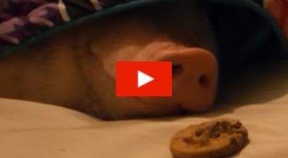 Pig Vs. Cookie!: Adorable Video Shows Pig Waking Up to the Smell of a Chocolate Cookie