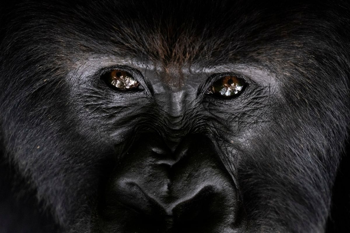 Uh-Oh: Gorillas at San Diego Zoo Test Positive for the Coronavirus
