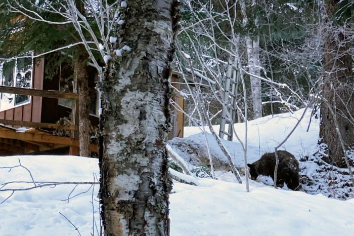 Bear Bites Alaska Woman's Butt Through Toilet in Outhouse