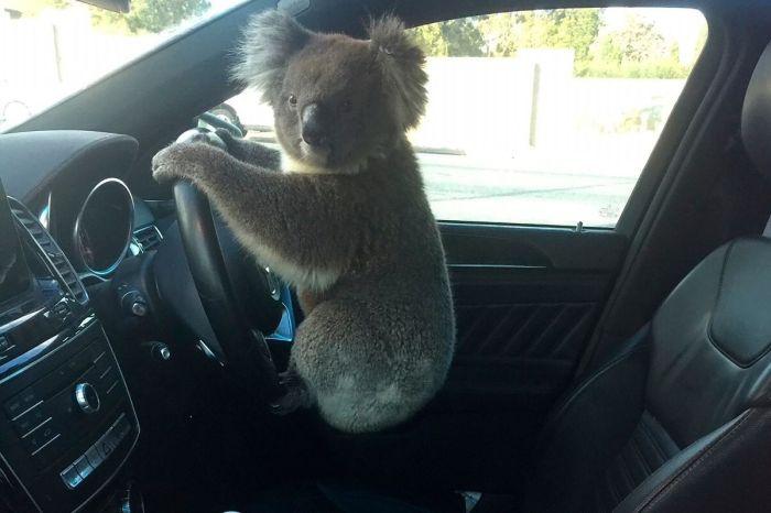 Koala Causes Five-Car Pileup in Australia, Poses For Photos