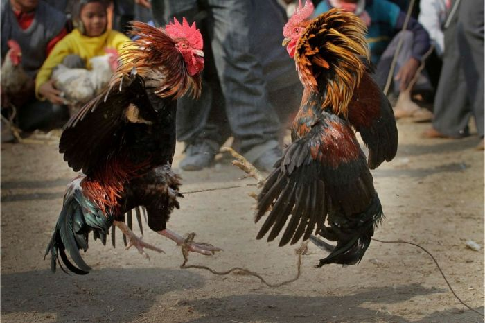 Rooster With Knife Kills Owner During Banned Cockfight