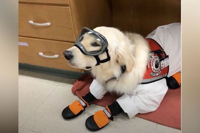 This Golden Retriever Wears PPE To Assist Mom Working in Lab