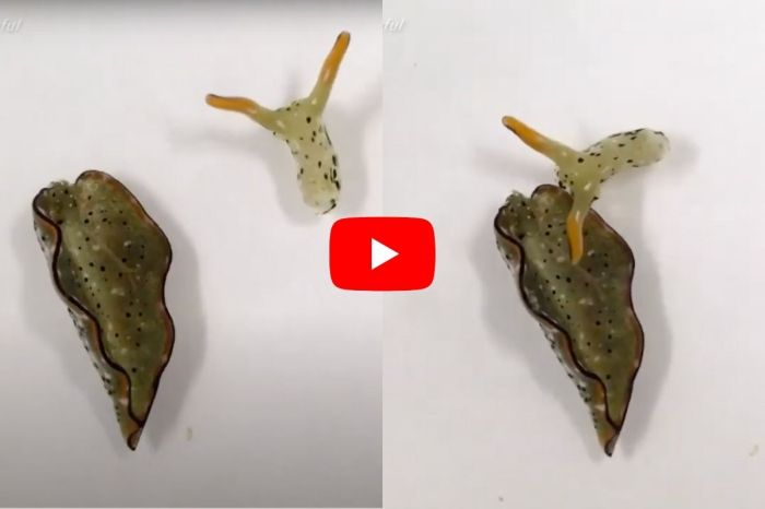These Sea Slugs Decapitate Themselves and Grow New Bodies