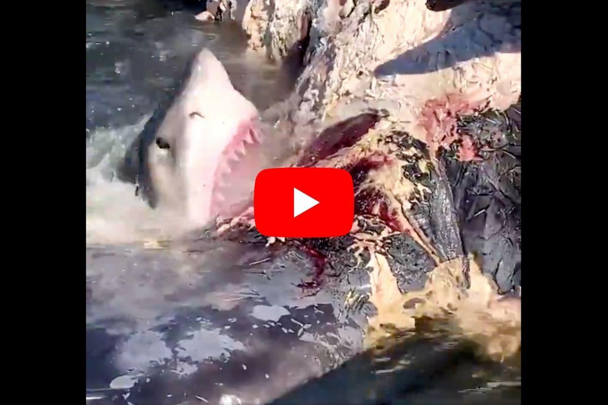 Hungry Sharks Chow Down on Dead Whale Near Hilton Head Island