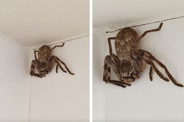 Woman Finds MASSIVE Huntsman Spider in Her Shower