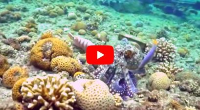Octopuses Apparently Punch Fish When They are Annoyed