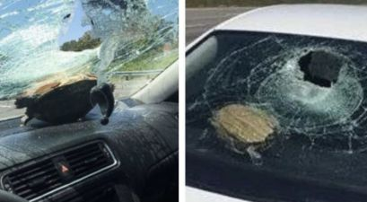 Turtle Flies Through Car Windshield, Hits Woman in the Head