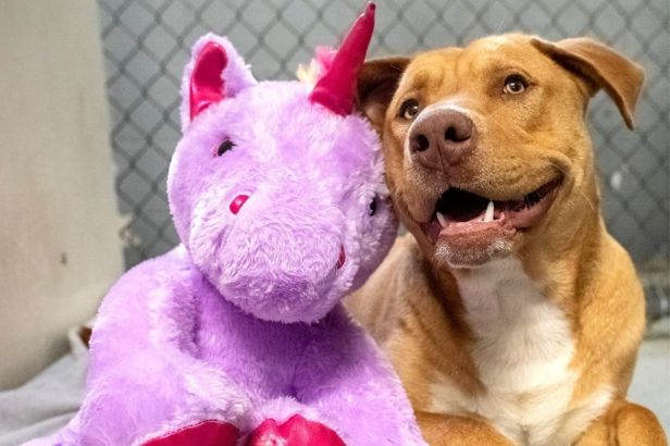 Sisu the Stray Dog and His Stuffed Unicorn Find Their Forever Home
