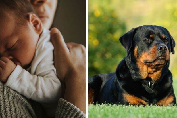 10-Month-Old Baby Tragically Killed by Family's 2 Rottweilers