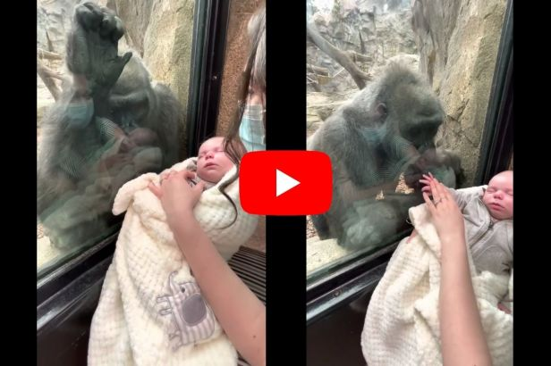 Gorilla and New Mom Bond Over Their Babies at Boston Zoo