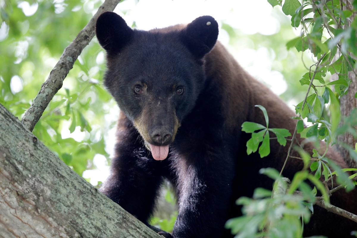 Central Florida Couple Pleads Guilty to Baiting Bears into Dog Attack for Social Media Videos